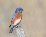 Bluebird, Eastern