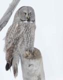 Owl, Great Gray-Utah