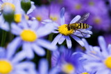 The hoverfly