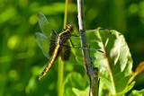 Dragonflies and Damsel Flies