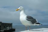 Goéland dAudubon - Western Gull