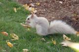 Écureuil gris leucique - Leucistic gray squirrel