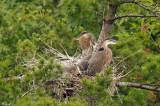 Quatre jeunes Grand héron au nid - Great blue Heron