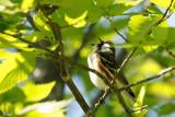 Paruline à flancs marron - Chestnut-sided Warbler