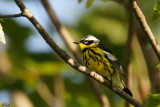Paruline à tête cendrée - Magnolia Warbler