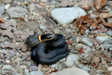 Couleuvre à collier - Ring-necked snake