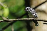 Paruline noir et blanc - Black-and-white warbler