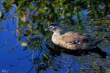 Canard branchu - Wood duck (female)