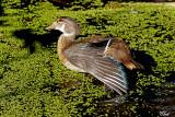 Canard branchu en éclipse - Wood duck
