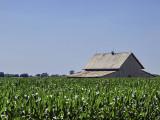 A barn buried in corn