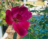 The Knock Out rose.