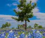Texas State Flower, the Bluebonnet