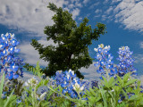 The Texas Bluebonnet, standing tall