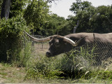Clearly a Texas Longhorn that knows the grass is always greener on the other side of the fence