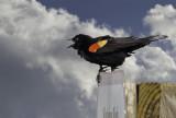 The  redwing blackbird