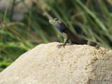 Spiny Lizard       IMG_3882