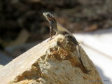 Spiny Lizard     IMG_3890