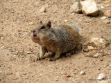 Rock Squirrel     IMG_4879