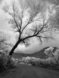 low slung tree