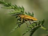 Gul Snudebille (Lixus iridis)