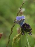 almindelig blåfugl_IMG_2181.jpg