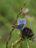 Almindelig blåfugl_IMG_2183.jpg