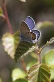 Foranderlig Blåfugl (Plebejus idas)
