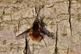 Stor Humleflue (Bombylius major)