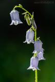 Bärtige Glockenblume (Campanula barbata L.)