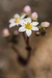 Buckel-Mauerpfeffer (Sedum dasyphyllum)