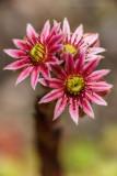 Hauswurz (Sempervivum montanum) 3
