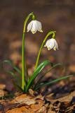 Märzenbecher (Leucojum vernum) 9