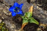 Schmalblättriger Enzian (Gentiana angustifolia vill.)