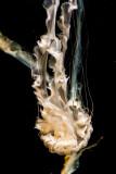 Tenuous Jellyfish Monterey Bay Aquarium  _MG_9185.jpg