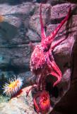 giant pacific red octopus Monterey Bay Aquarium  _Z6A9684.jpg