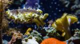 ex stumpy cuttlefish Monterey Bay Aquarium  _Z6A0485.jpg