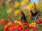 Pair of Butterflies