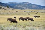 pStryker-yellowstone-buffalo_0562.jpg