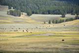 pStryker-yellowstone-buffalo_9916.jpg