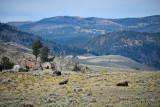 pStryker-yellowstone-buffalo-scenic_0575.jpg