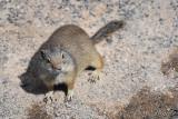pStryker-yellowstone-ground-squirrel_0271.jpg