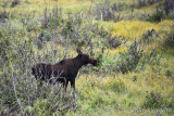 pStryker-yellowstone-moose-female_0752.jpg