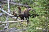 pStryker-yellowstone-moose-male_0757.jpg