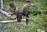 pStryker-yellowstone-moose-male_0758.jpg