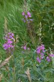 pStryker-yellowstone-wildflower_0654.jpg