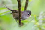 Grey-hooded Parrotbill