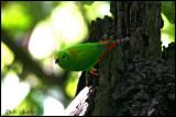 Moluccan Hanging-Parrot
