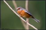 Rusty-browed Warbling-Finch (Poospiza erythrophrys)