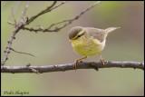 Alpine Leaf-warbler (Phylloscopus occisinensis)