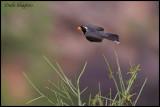 Golden-billed Saltator (Saltator aurantiirostris)